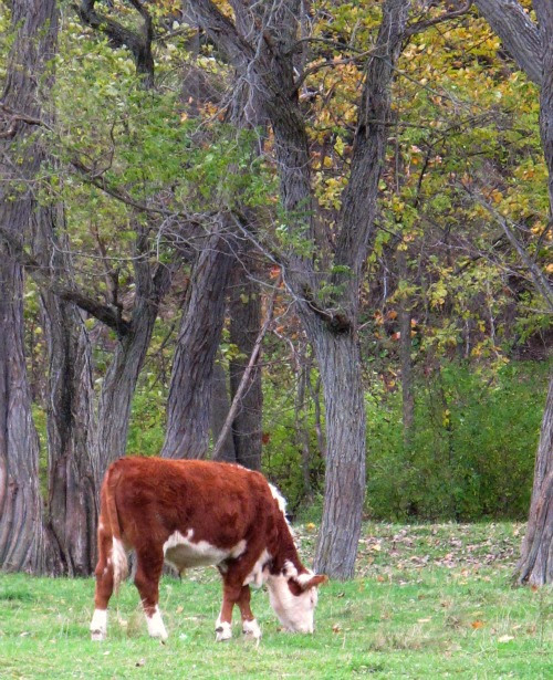 rusty cow neighbor