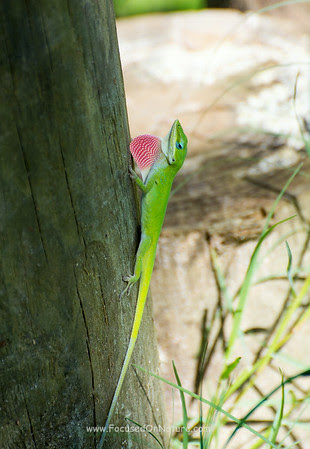 Green Anole Displaying