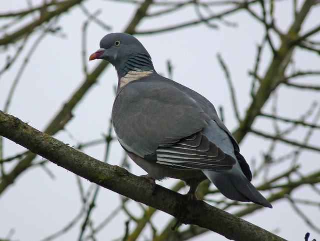 25454 - Wood Pigeon, Llanelli WWT