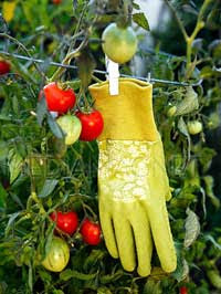 Gardening glove hanging from a tomato plant