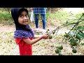Keseruan Nafisa Panen Jeruk Langsung dari Pohonnya  - Picking oranges in the garden - @Nafisa Tube