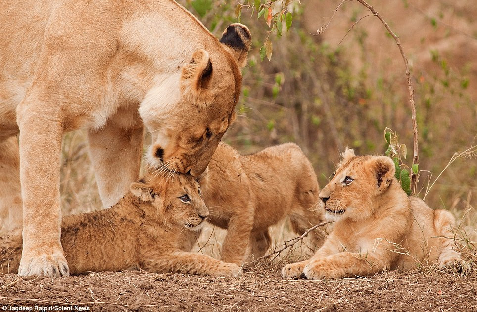 Get FuN Here: Caring Lioness And Her Cubs