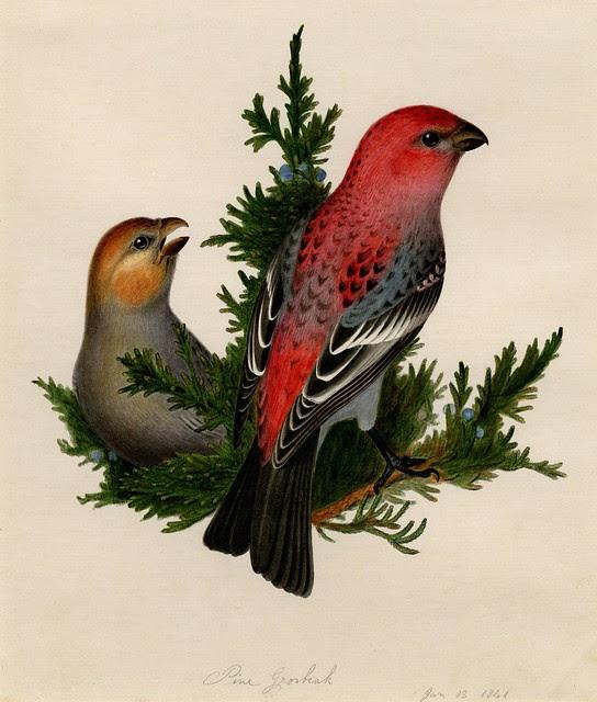 bird sketch by Isaac Sprague