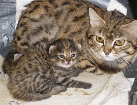 Rare Cats Born Through Amazing Science!   ZooBorns