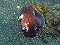 Octopus marginatus2.JPG