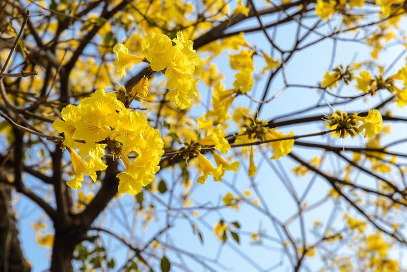 黃金風鈴木 Tabebuia aurea