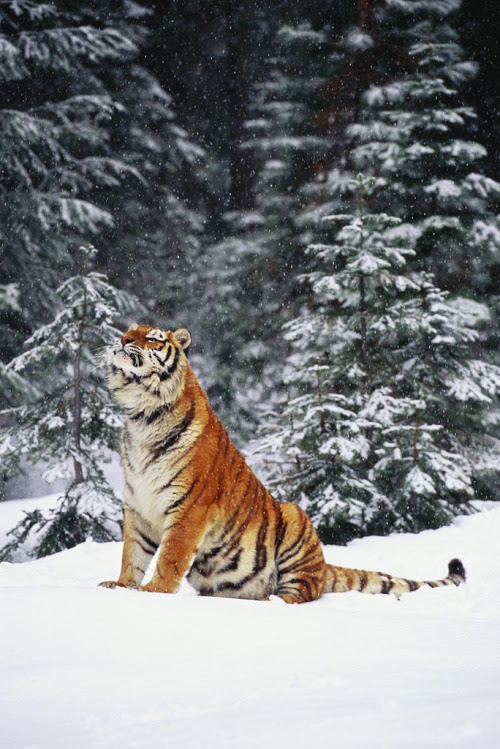 """brutalgeneration:  Tiger (by lmstonenhp1)  Could you smell the sweet air? Could you smell the snow in the air? I could even hear footsteps crunching in the snow. I'd better run. Humans are coming and I don't want them to see me sunning myself. I will just give a ferocious """"ROAR."""""""