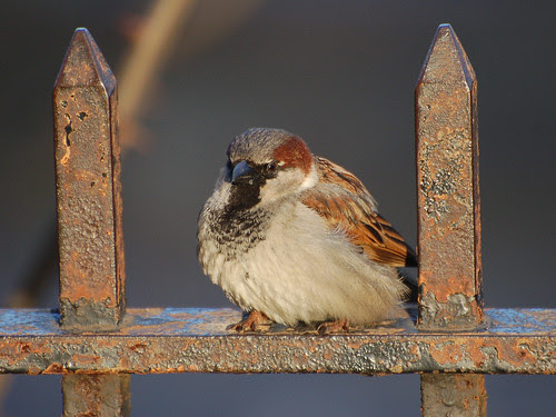 Morningside Sparrow