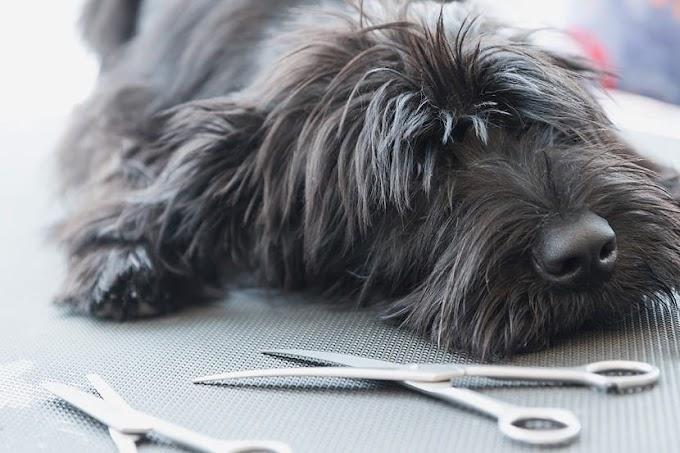 Cómo cortar el flequillo a un perro