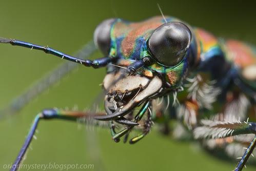 tiger beetle IMG_3429 copy