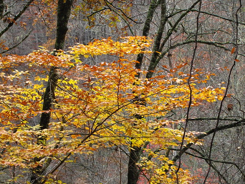 IMG_6662_Yellow_Tree_on_Deep_Creek_Trail