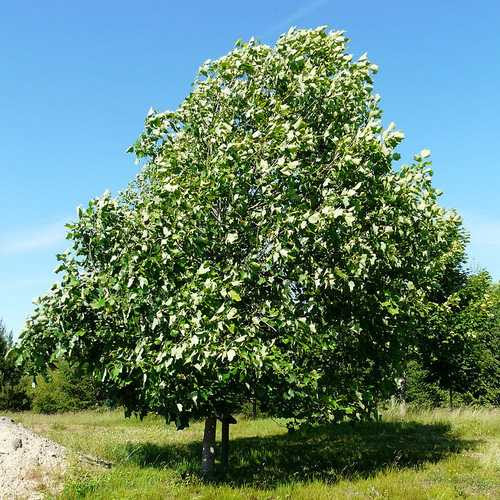 Liriodendron Tulipifera Tulip Tree Future Forests