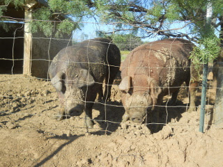Another Picture of Our Duroc Pigs Odysseus and Penelope