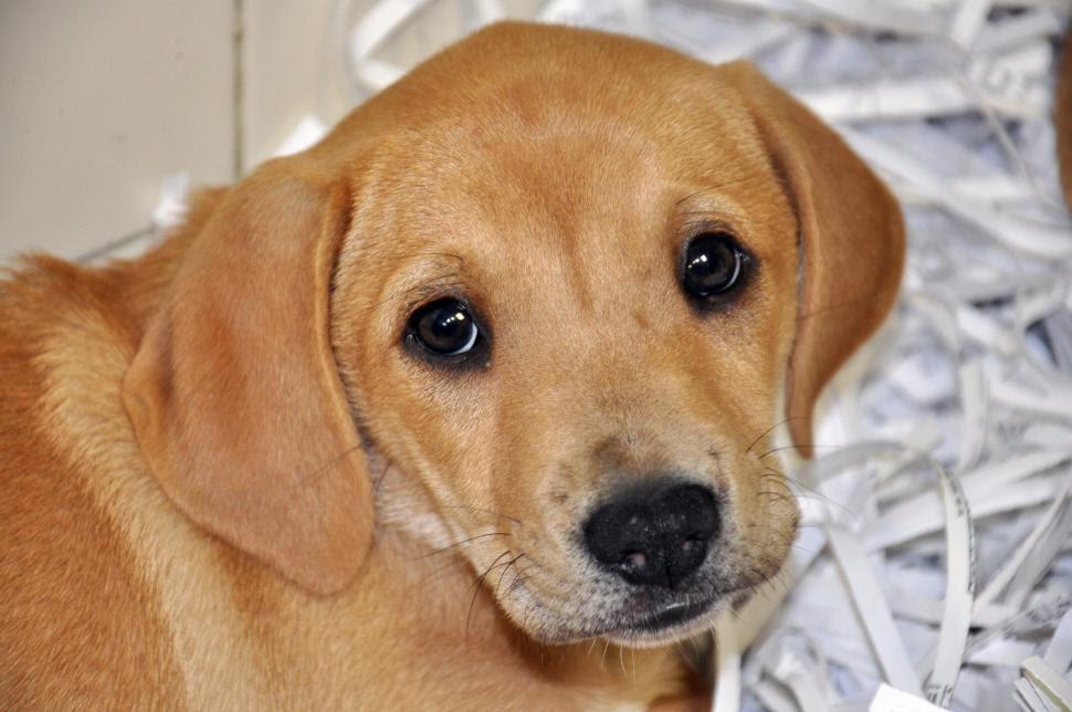 Labrador Puppy For Sale In Romania