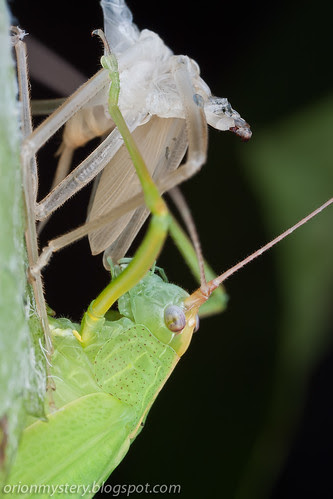 newly molted katydid eating its own exoskeleton IMG_5372 copy