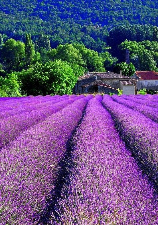 Lavender beds in Provence, France