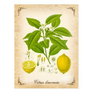 The lemon - vintage illustration postcards