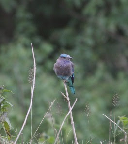 Indian Roller at Khao Yai