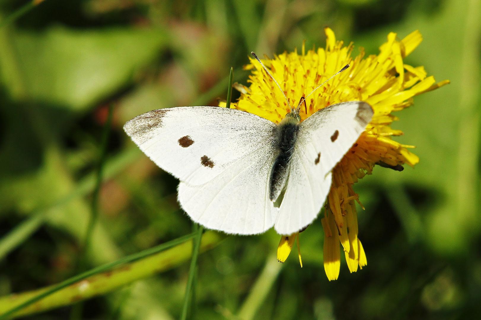 Weißer Schmetterling Foto & Bild | tiere, wildlife ...