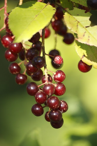 Chokecherry (5)