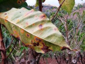 La roya es un hongo que infecta las hojas de las plantas de café y causa su caída prematura. (CRH)