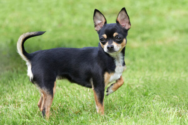 Chihuahua courtesy of Shutterstock.