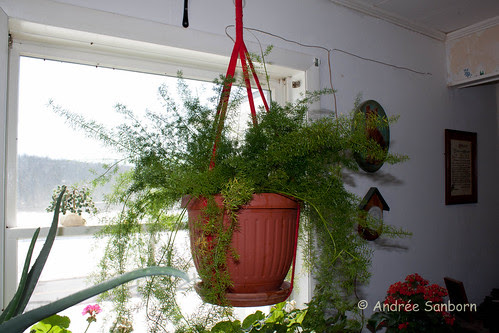 Repotting the asparagus fern (6 of 6).jpg
