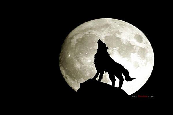 Lobo Aullando A La Luna Llena 175