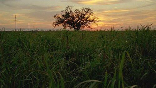 Após os detetives pego Reggie Ledoux, o caipira enlouquecido, a câmara foca ameaçadoramente sobre uma árvore solitária - uma árvore que é visto várias vezes durante a série.  Com suas raízes firmemente segurando o solo Louisiana, a árvore representa a linhagem da família que governa a região.