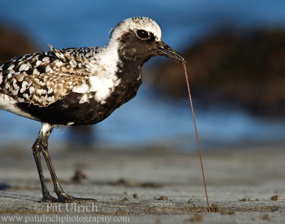 Black-bellied plover pulling a worm from the sediments