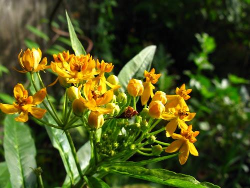 Ascelpias curassavica