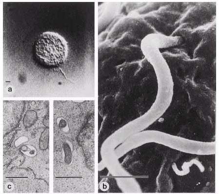 Bb-intracellular