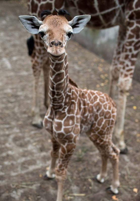 One week old Giraffe