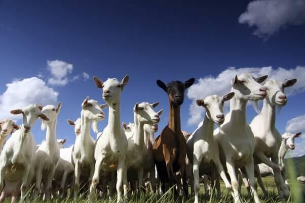 Goats-SebastianKnight