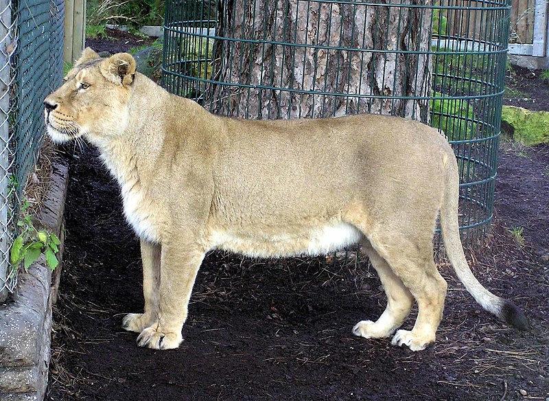 File:Asiatic.lioness.arp.jpg