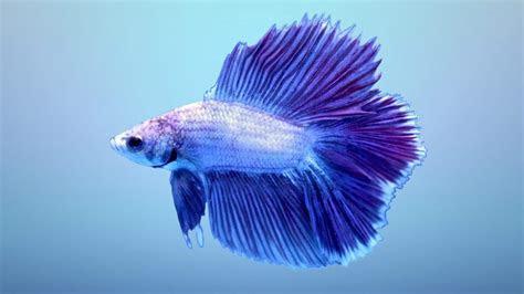 gambar wallpaper ikan cupang ryan gambar