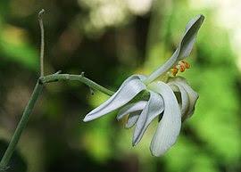 Moringa oleifera flower edit.jpg