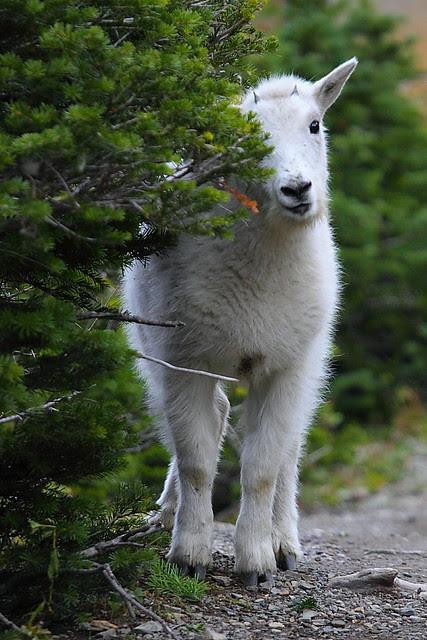 IMG_7230 Am I Cute? Glacier National Park