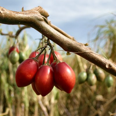 20060225-vs-8582 Tomateiro-arbóreo - Cyphomandra crassicaulis