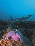 Manta Ray, Scuba Diver Australasia