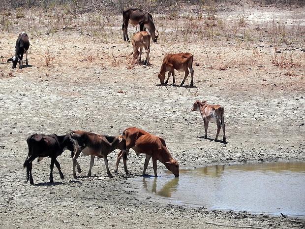 Animais aproveitam o resto de água que ainda há em alguns barreiros (Foto: Taiguara Rangel/G1)