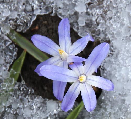coldflowers