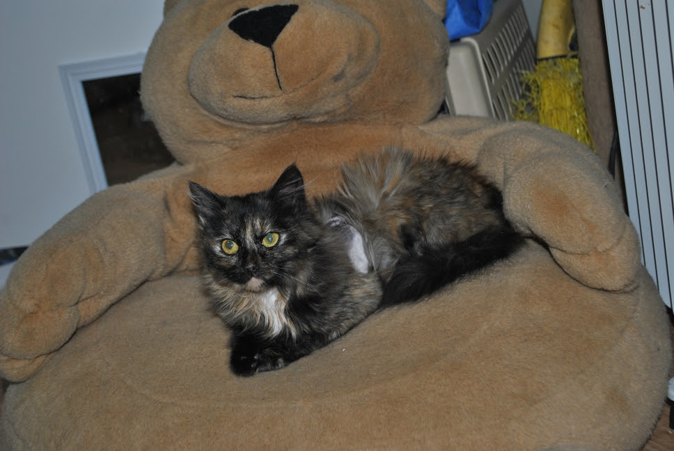 Charlotte the tortie kitten on a bear chair