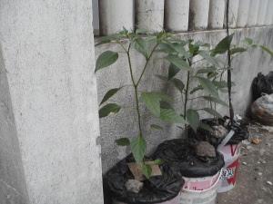 tanaman Cabe sudah ditaruh ditempat terbuka, yaitu didepan pagar rumah, terkena terik matahari maupun tetesan hujan