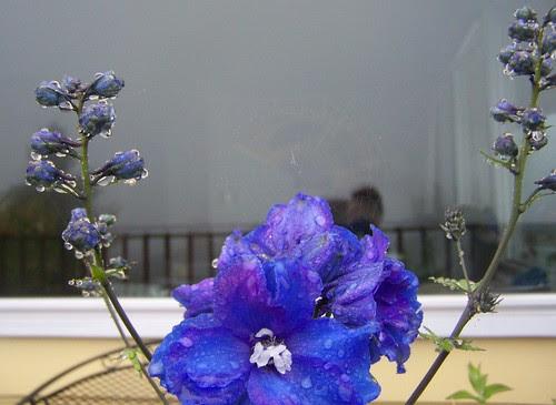 june 2018 Wet blue flower