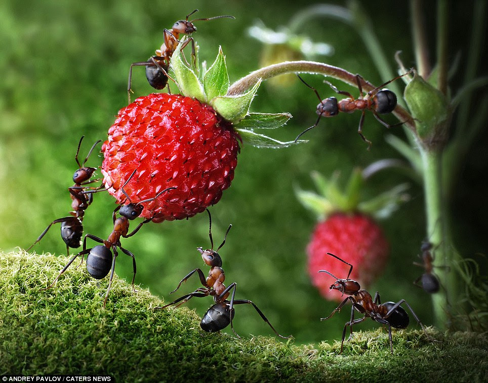 Bringing in the harvest: While Mr Pavlov spends hours creating scenes for the insects to inhabit, he says the natural curiosity of ants helps his work enormously