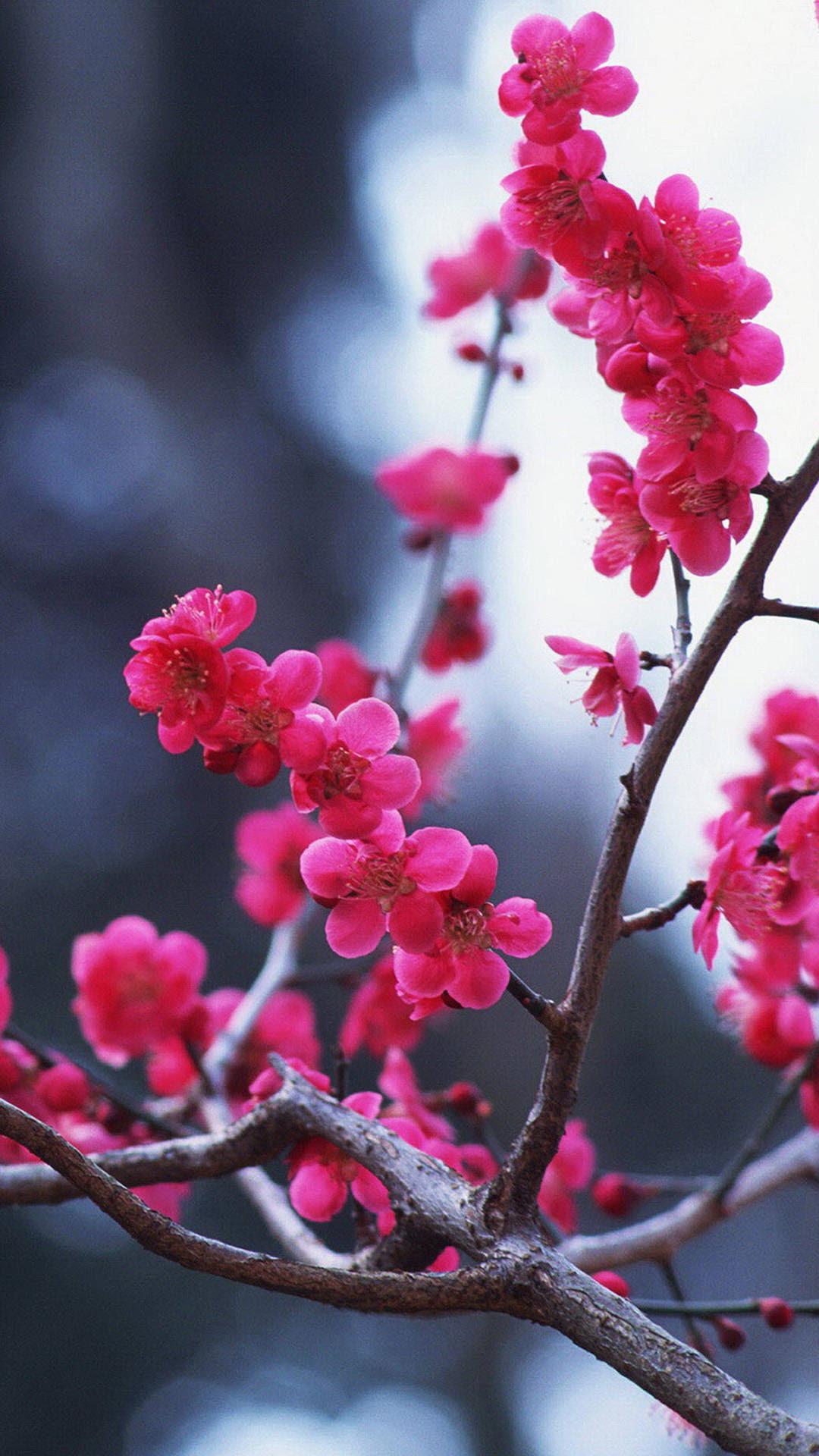 Cherry Blossom iPhone HD Wallpaper | PixelsTalk.Net