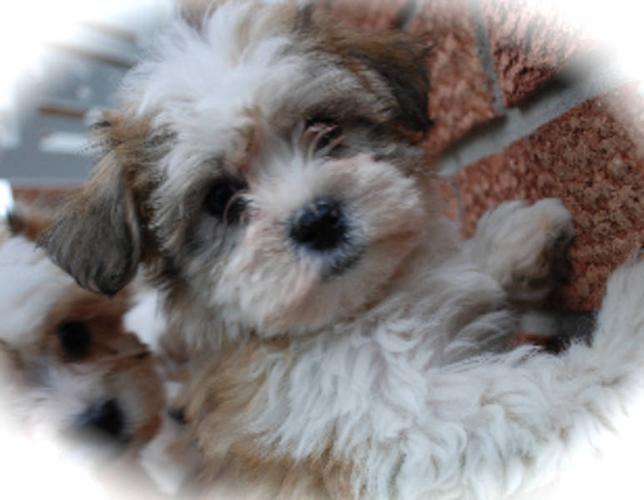 Maltese X Poodle Maltipoo Hypoallergenic Non shedding for ...