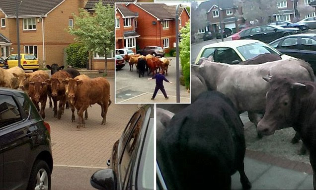 A cow was shot dead yesterday by a police marksman after a herd escaped