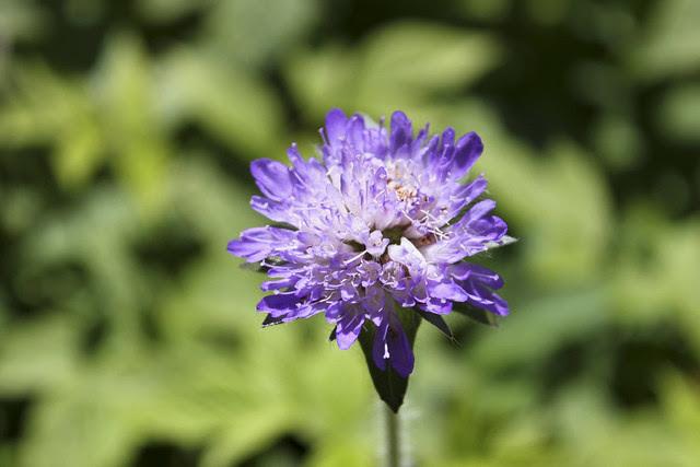 Blumen auf dem Märchenweg im Val Bever